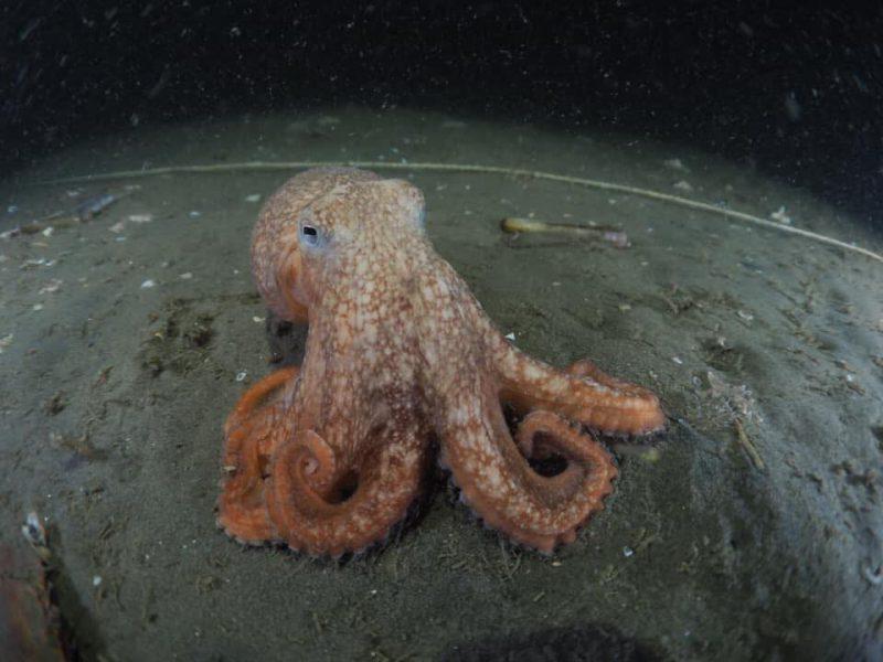 Levende Octopus in de Noordzee